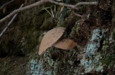 2015/08/02 大文字山 クリイロイグチモドキ Gyroporus longicystidiatus